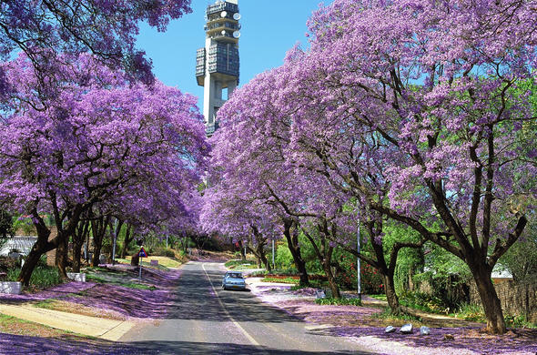 Jacaranda trees in Proria.